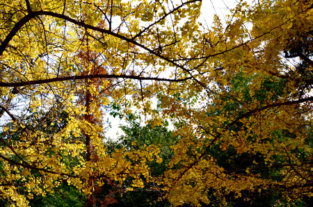 Ginkgo tree has a golden yellow photo