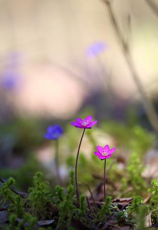 Rare pink Kidneywort