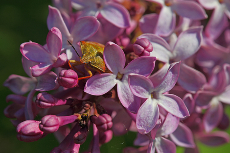 Heteroptera smells good inside lilac