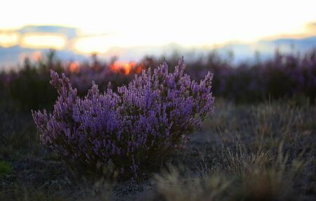 Common Heather blooming at sunset Фото со стока