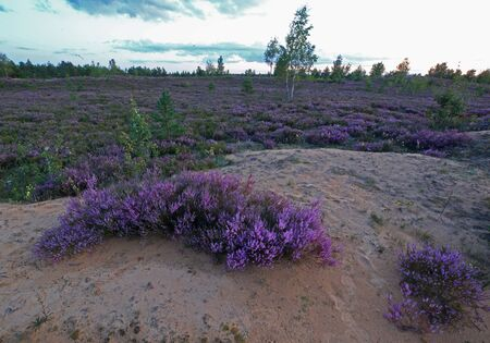 Common Heather blooming in the sand