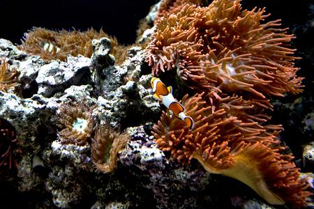 beautiful Ocellaris Clownfish in aquarium with plants