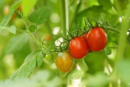 Ripe organic tomatoes Stock Photo - 90761417