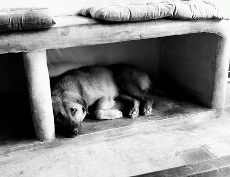 white dog: The dog to sleep.