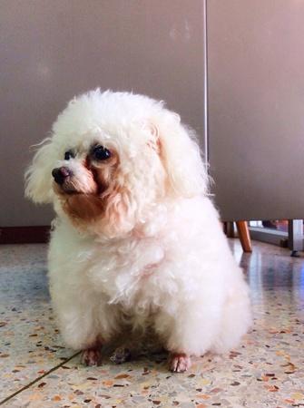 white dog: The sitting puffy white dog