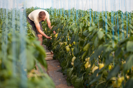 Farmer picking ripe bell peppers in a greenhouse photo
