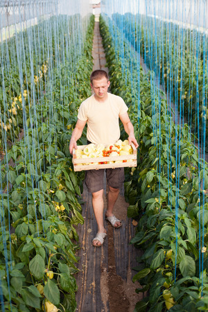 Farmer carrying a crate of vegetables in greenhouse photo