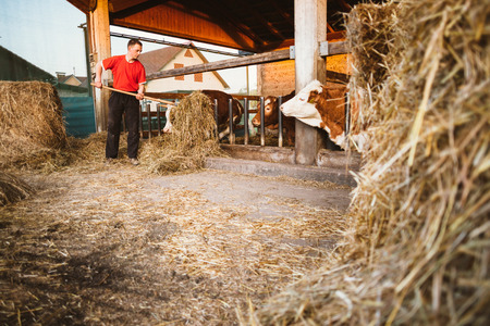 Farmer feeding cows in barn using hay fork photo