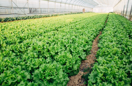 seed bed: Lettuce growing in big greenhouse Stock Photo