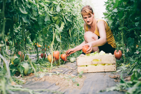 Farmer girl picking ripe tomates in greenhouse photo