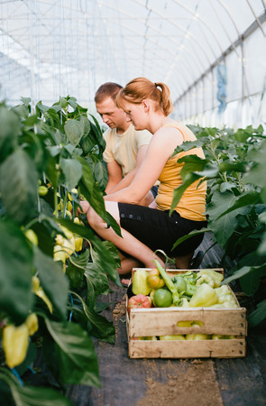 Farmers picking bell pepper in a big greenhouse photo