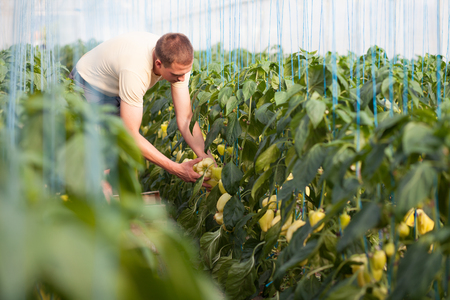 Farmer picking ripe bell peppers in a big greenhouse