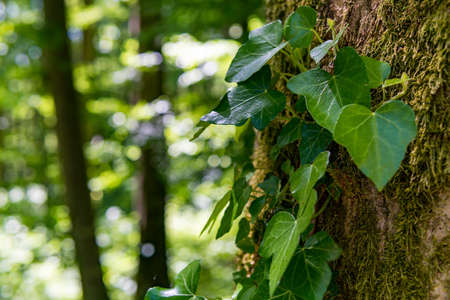 Fantastic forest in Upper Swabia with ivy leaves and beautiful bark