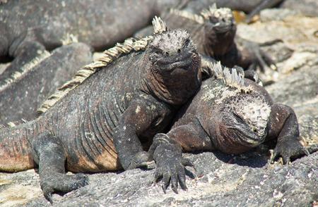 Galapagos Marine Iguanas Sunning on Rock, on Isla Fernandina, Galapagos Islands, Ecuador