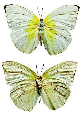 Lemon Emigrant Butterfly upper and lower views Banco de Imagens