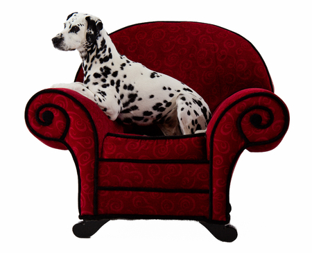Dalmatian Sitting on Red Chair with white background