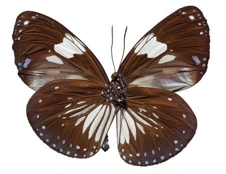 Magpie Crow Butterfly (Euploea radamanthus) top view Imagens