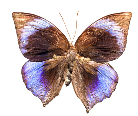 The Saturn Butterfly (Zeuxidia amethystus) upper view
