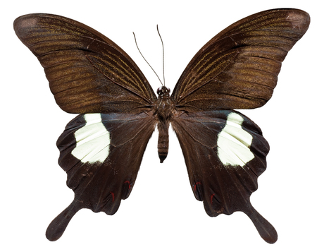Red Helen Butterfly (Papilio helenus) ( top view)