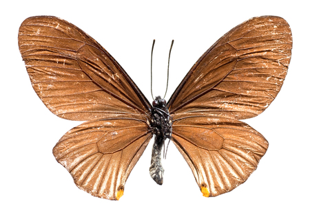 closeup studio image of Swallowtail Butterfly from Thailand