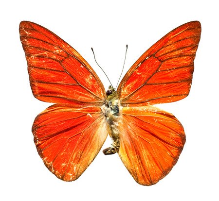 Orange Albatross Butterfly from Indonesia on white background