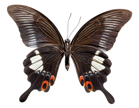 Red Helen Butterfly (Papilio helenus) (lower view)