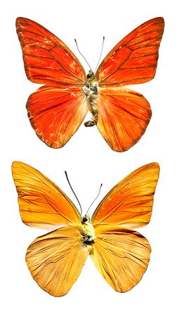 Orange Albatross Butterfly upper and lower on white background