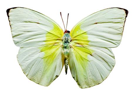 Lemon Emigrant Butterfly,  upper view on white background