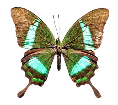 Emerald Swallowtail Butterfly (Papilio palinurus) upper view