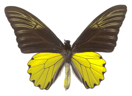 Birdwing Butterfly (Troides cuneifer paeninsulae), male Stock Photo