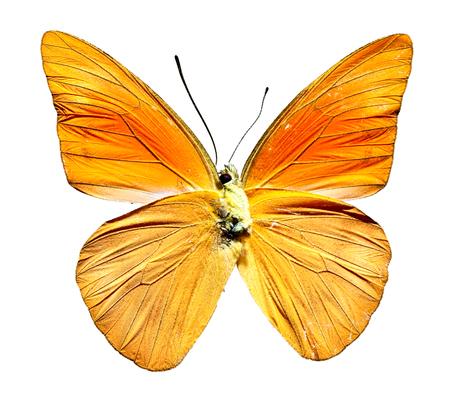 Orange Albatross Butterfly from Indonesia, bottom