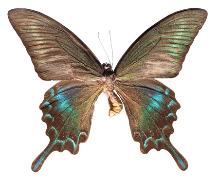 Papilio maackii Butterfly, Spring form (upper view)