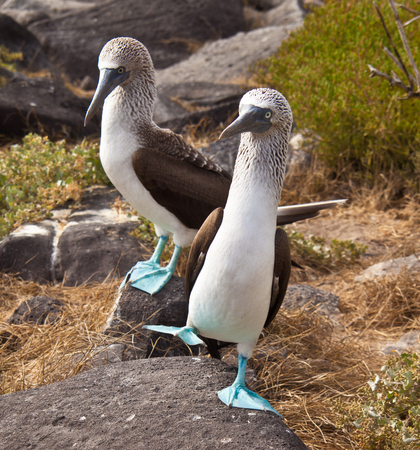 Blue Footed Booby pair doing mating dance