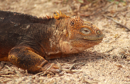 Close up of Land Iguana, on Grand Seymore Island, Galapagos islands, Ecuador
