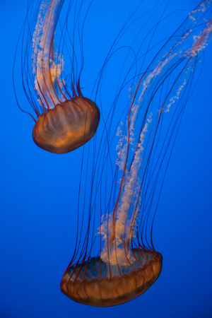 Jellyfish With a Blue Background in aquarium Stock Photo