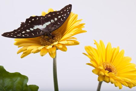 Great Jay (or Pale Grren Triangle) Butterfly on Gerbera Daisy