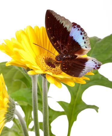 Archduke Butterfly (Lexias Pardalis) on Yellow Gerbera Daisy Stock Photo