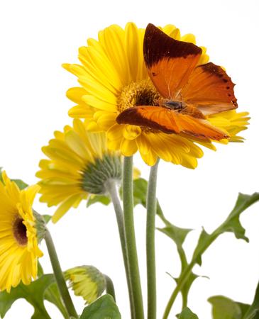 Tawny Rajah Butterfly (Charaxes bernardus) on a Yellow Daisy Stock Photo