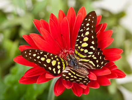 Green Jay Butterfly (aka Green Triangle or Green Spotted Triangle) on Red Gerbera Daisy