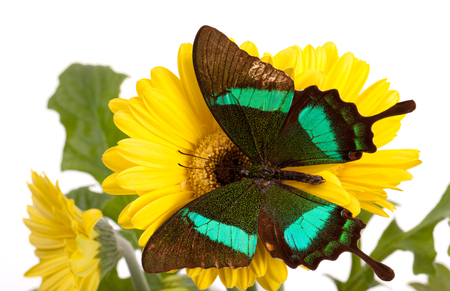 Emerald Swallowtail Butterfly on a Yellow Daisy