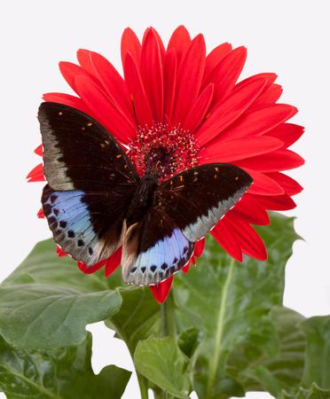 Archduke Butterfly (Lexias Pardalis) on Red Gerbera Daisy Stock Photo