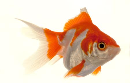 carassius auratus: Isolated Approaching Goldfish swimming towards camera, close-up on white Stock Photo