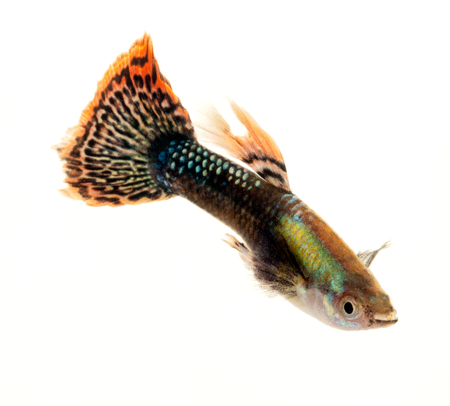 Colourful Guppy Fish with orange patterned tail is a popular freshwater aquarium fish, isolated on white
