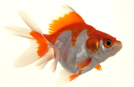 Isolated Approaching Goldfish swimming towards camera, close-up on white Imagens
