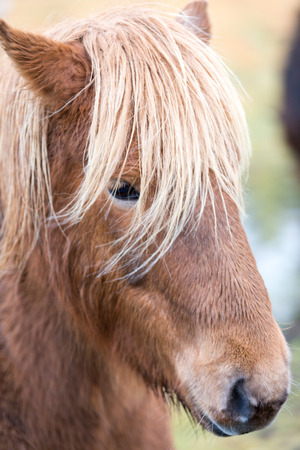 Icelandic Horses were bred specifically for the climate in Iceland Stock Photo