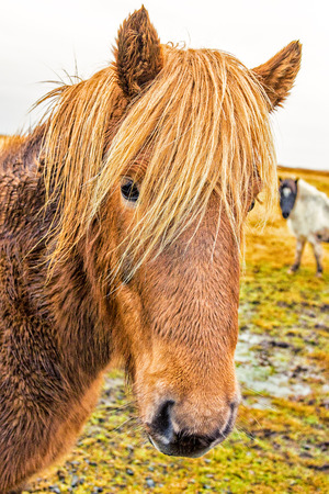Icelandic Horses were bred specifically for the climate in Iceland Reklamní fotografie