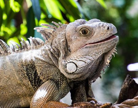 Front half of an iguana Stock Photo