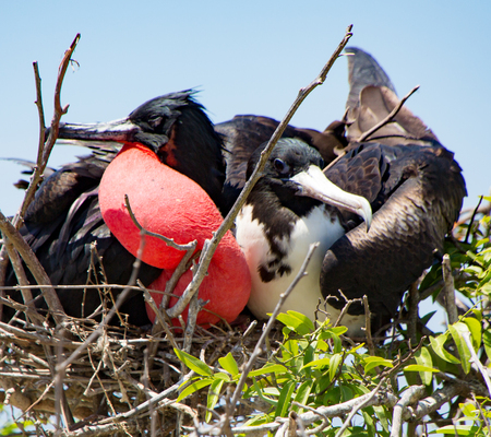frigatebirds mated pair with male showing inflated red sac Stock Photo