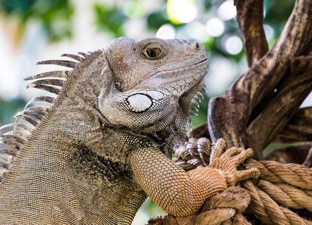 Front half of an iguana, climbing a tree Stock Photo