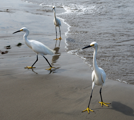 Egrets wander the coast of Cartagnea, Colombia, waiting for fishermen to discard fish entrails 版權商用圖片